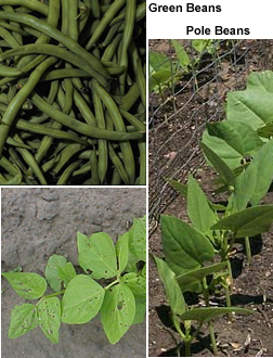 String / Snap Beans & Pole Beans