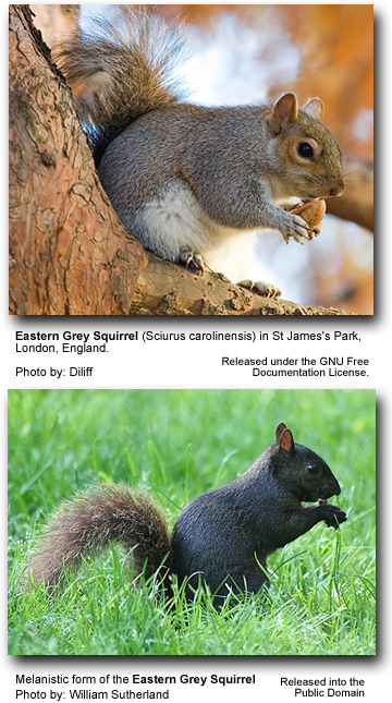 Eastern Grey Squirrels