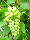 Grapes (Blue or Green)