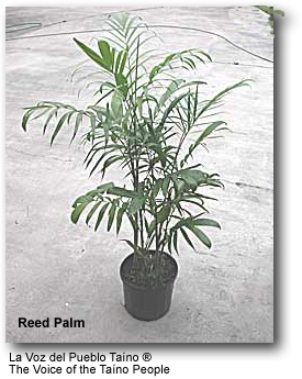 Reed Palms